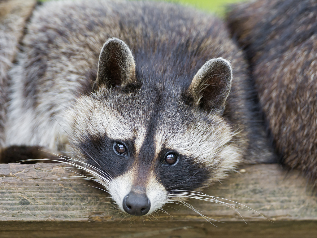 Racoon A K A Raccoon Effective Wildlife Solutions