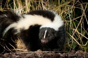 Want to Repel Skunks?