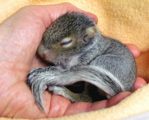 How to Help an Orphaned Baby Squirrel