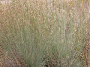 Big Bluestem - Andropogon gerardi