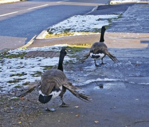 Canada geese with Angel Wing