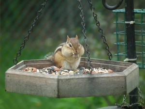 chipmunk dining at birdfeeder
