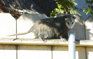 Are Possums Dangerous ?