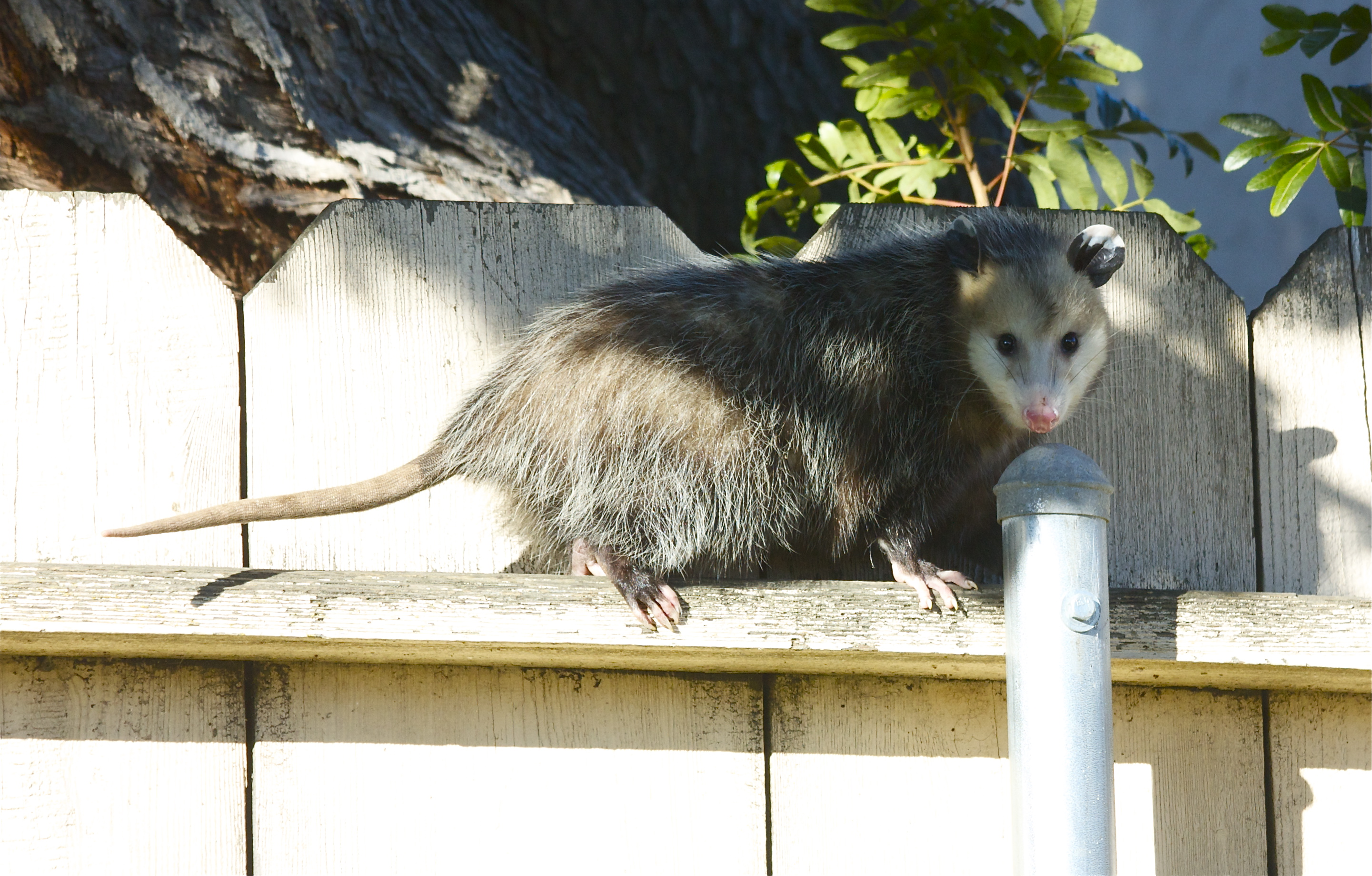 Are Possums Dangerous ? - Effective Wildlife Solutions