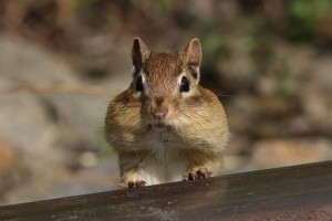 Simple Ways to Repel Chipmunks