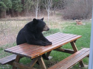 black bear at picnic table