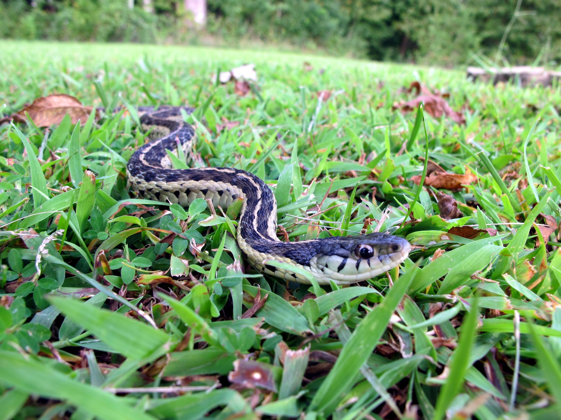Perfect Garter Snake In The Grass