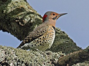yellow-shafter northern flicker