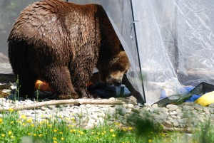 brown bear in campsite