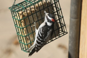 downey woodpecker eating suet