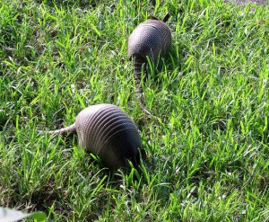 armadillos eating