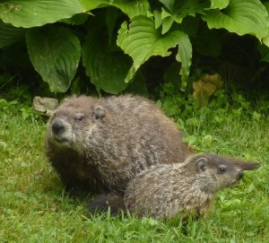 woodchuck mother and cub