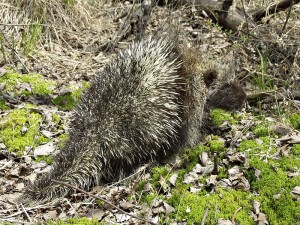 "Contrary to popular belief, porcupines are incapable of ""throwing"" or ""shooting"" their quills. They can however, raise their quills in warning when they feel threatened."