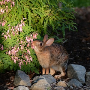 rabbit eating bleeding heart plant