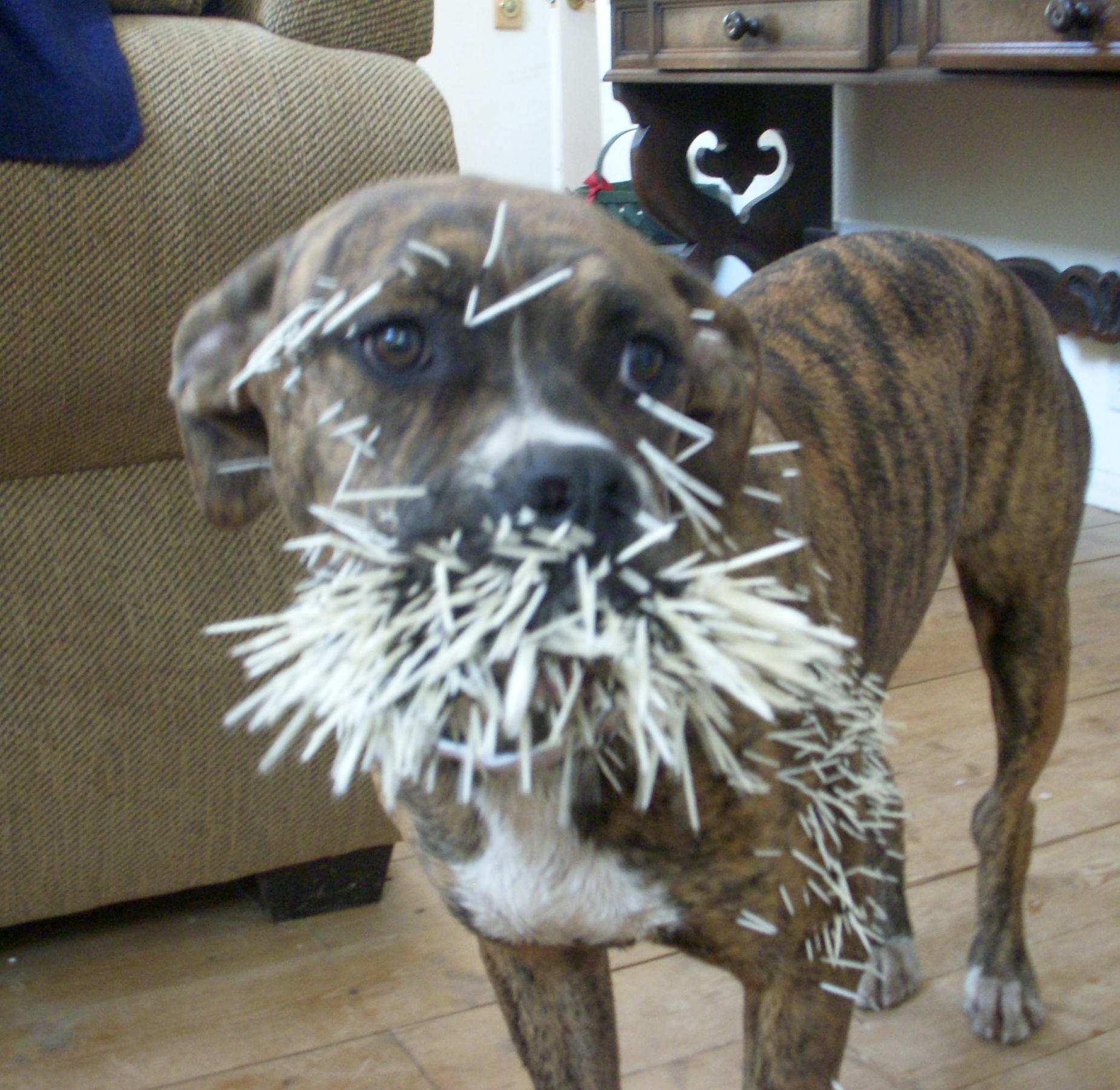 Dog Quilled By A Porcupine