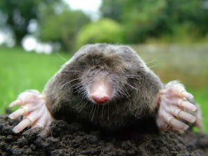 Mole Infestation in House? Or…