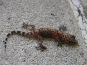 mediterrean house gecko