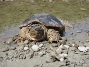 Snapping Turtle Tidbits