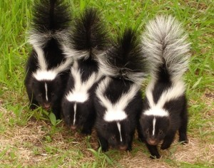 baby striped skunks