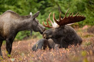 cow and bull moose