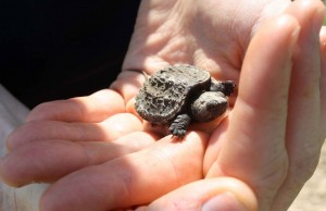 hatchling snapping turtle