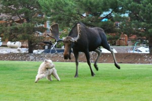 moose chasing a dog
