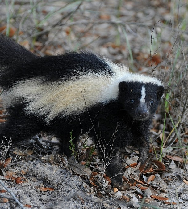 Skunks And Their Natural History