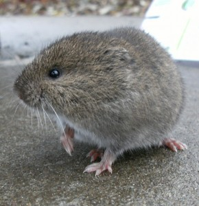 western red-backed vole