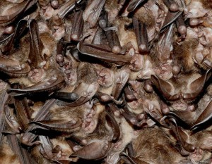 virginia big-eared bats hibernating
