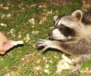 feeding raccoon