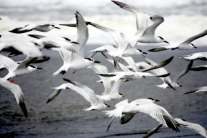 artic terns during migration