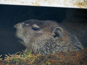 woodchuck under porch