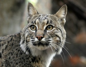 Bobcats, Your Cat's Wild Cousin