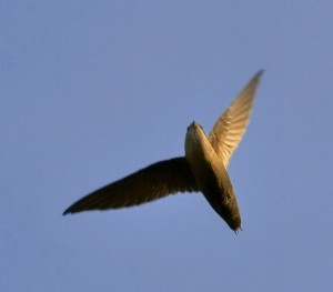 Chimney swifts are graceful as they soar through the sky.