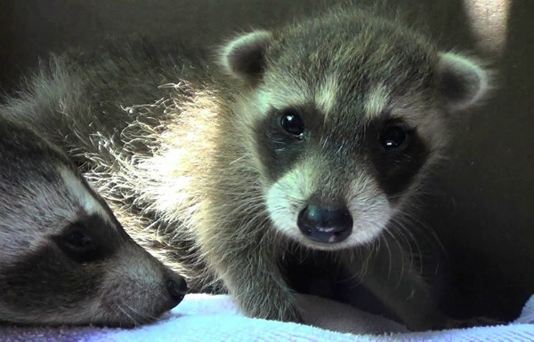 Baby Raccoons Word To The Wise Effective Wildlife Solutions