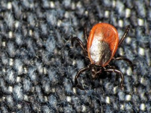 blacklegged tick on fibers