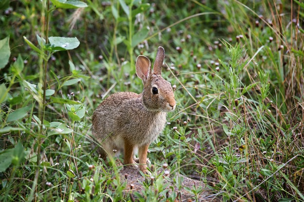 Cottontail rabbits thrive in edge habitat that borders our manicured yards, school grounds, and parks.