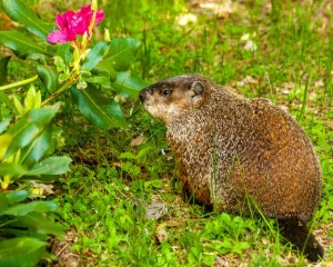 What Food Do You Use to Trap Groundhogs?