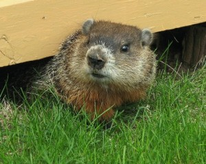 groundhog under building