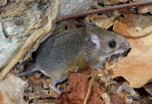 white-footed mice serve as a host to Lyme disease