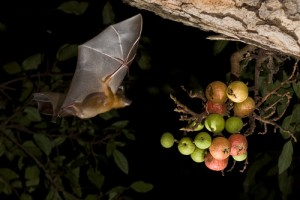 fruit bat flying to figs