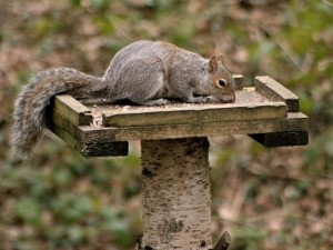 squirrel on feeding table