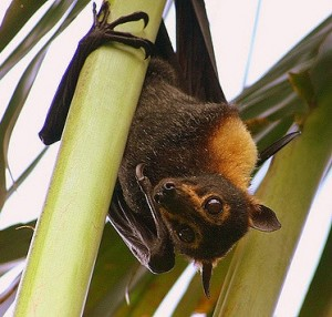fruit bat hanging