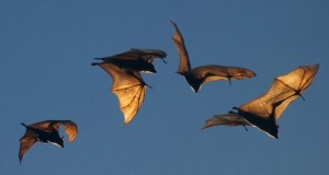 fruit bats flying