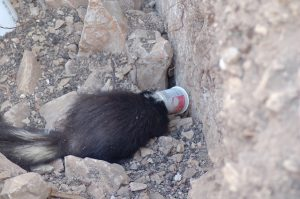 Skunk with Yoplait on head
