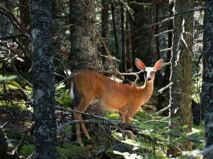 white-tailed doe in woods