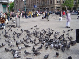 pigeons where you walk