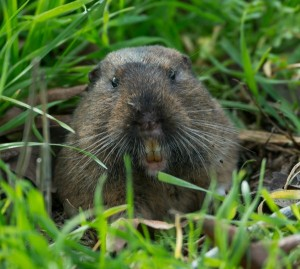 pocket gopher_close up