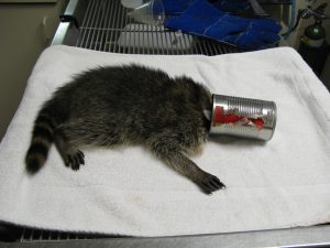 Raccoon with head stuck in can