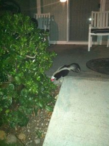 skunk yoplait container on head in yard